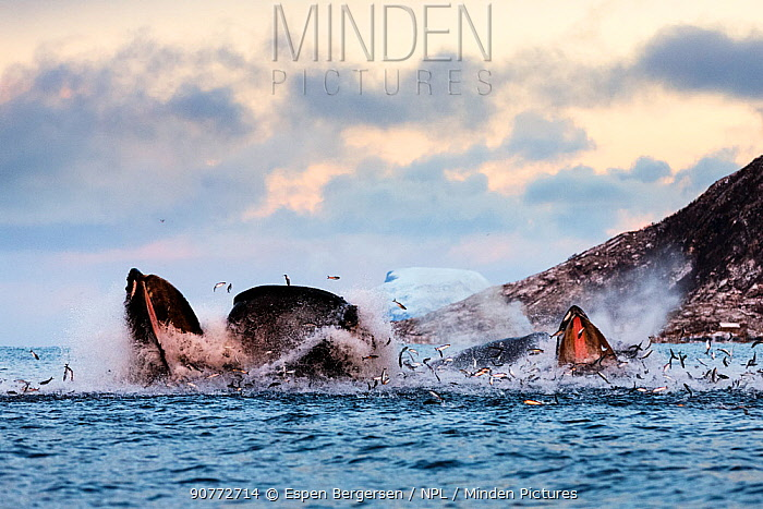 Hundreds of Herring  (Clupea harengus) jumping out of the water when bubble-net feeding Humpback whales (Megaptera novaeangliae) attack from below. Image showing the gap between the upper and lower mandible. Kvaloya, Troms, Northern Norway. November.