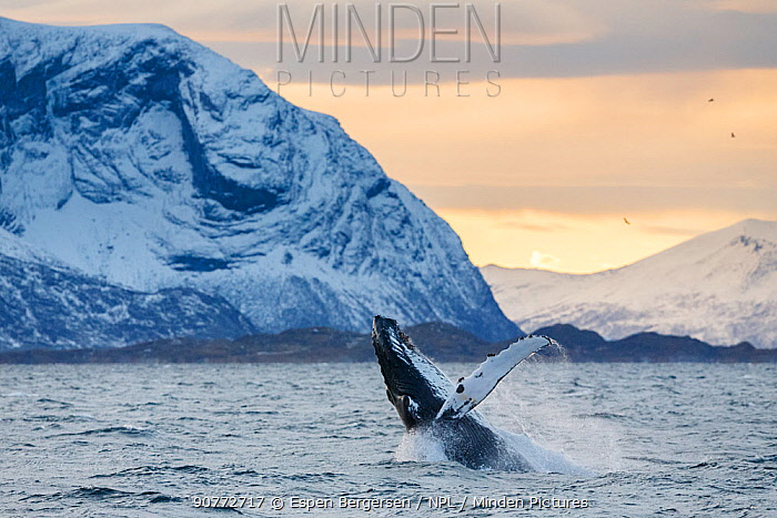 Humpback whale (Megaptera novaeangliae) breaching. Kvaloya, Troms, Northern Norway. November.