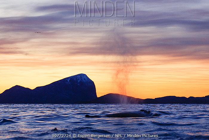 Humpback whale (Megaptera novaeangliae) blowing, Kvaloya, Troms, Northern Norway. November.