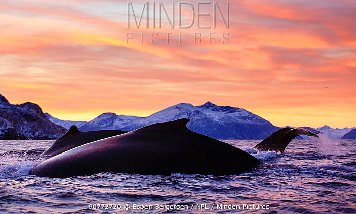 Three diving Humpback whales (Megaptera novaeangliae) during polar night, Kvaloya, Troms, Northern Norway. November.