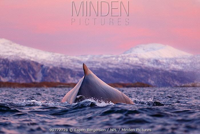 Humpback whale (Megaptera novaeangliae) surfacing during polar night time. Kvaloya, Troms, Northern Norway. November.