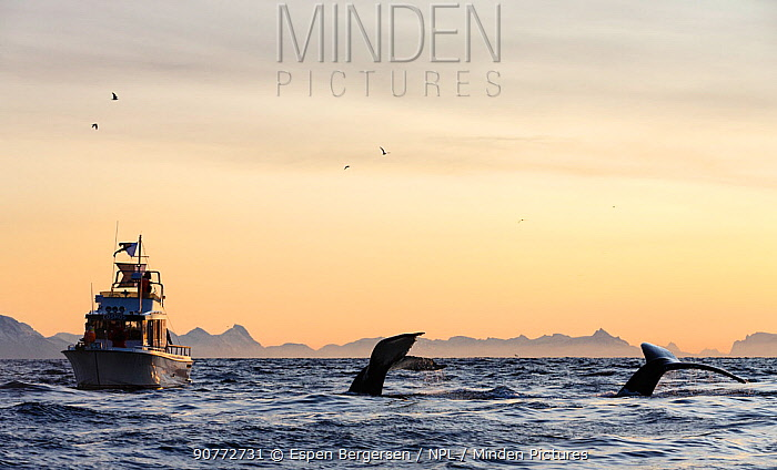 Diving Humpback whales (Megaptera novaeangliae) small fishing boat. Andfjorden close to Andoya, Nordland, Northern Norway. January.