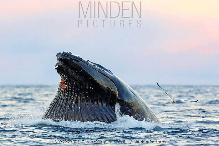 Humpback whale (Megaptera novaeangliae) feeding on herring with ventral grooves clearly visible. Kvaloya, Troms, Northern Norway. November.