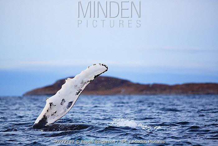 Humpback whale (Megaptera novaeangliae) at surface raising pectoral fin. Kvaloya, Troms, Northern Norway. November.