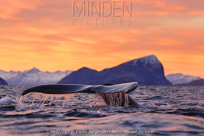 Humpback whale (Megaptera novaeangliae) diving during polar night, Kvaloya, Troms, Northern Norway. November.