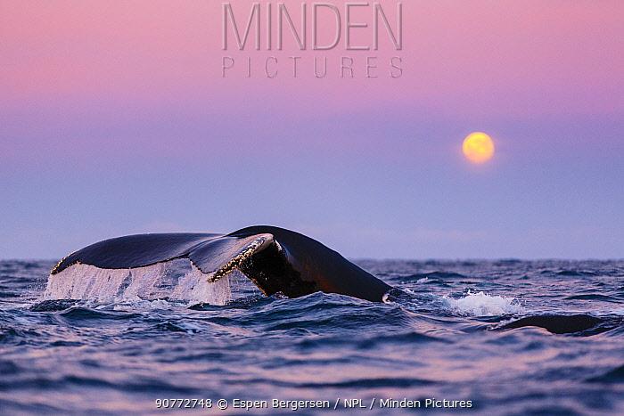 Diving Humpback whale (Megaptera novaeangliae) during polar night, with full moon low in horizon. Kvaloya, Troms, Northern Norway. November.