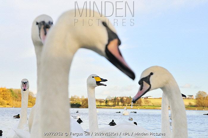 Whooper Swan (Cygnus cygnus) caling behind mute swans (Cygnus olor) on a urban loch. Scotland, November.