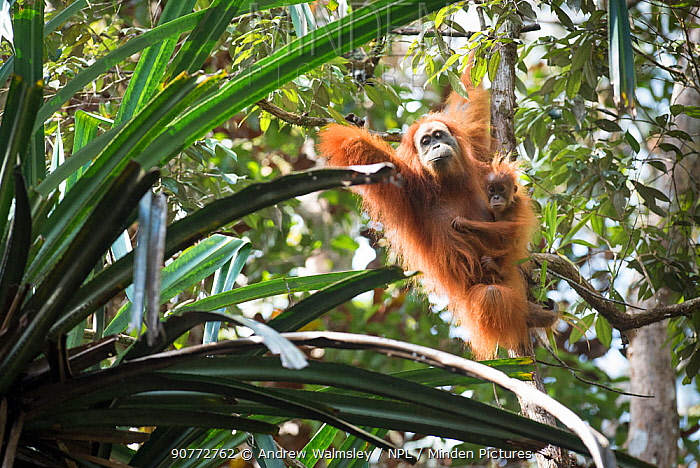Tapanuli Orangutan (Pongo tapanuliensis) mother with baby, Batang Toru, North Sumatra, Indonesia. This new species of orangutan, Pongo tapanuliensis, has been identified and is limited to this small area of forest, with a population of about 800 individuals.