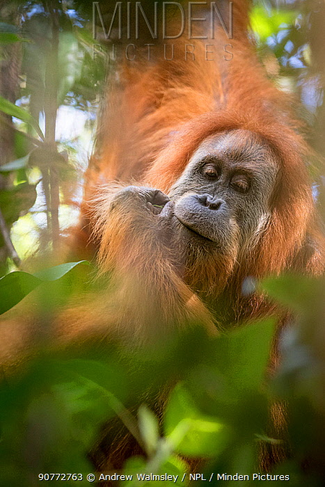 Tapanuli Orangutan (Pongo tapanuliensis) portrait, Batang Toru, North Sumatra, Indonesia. This is a newly identified species of orangutan,  limited to the Batang Toru forests in North Sumatra is with a population of about 800 individuals.