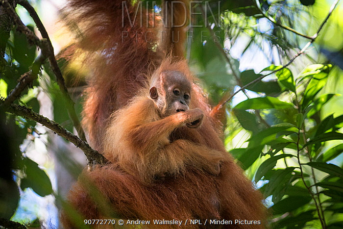 Tapanuli Orangutan (Pongo tapanuliensis) baby hanging on to mother, Batang Toru, North Sumatra, Indonesia. This is a newly identified species of orangutan, limited to the Batang Toru forests in North Sumatra is with a population of about 800 individuals.