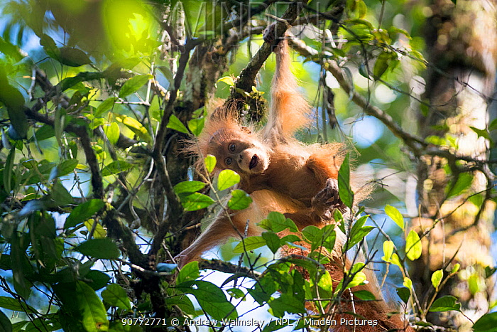 Tapanuli Orangutan (Pongo tapanuliensis) baby swinging from branch, Batang Toru, North Sumatra, Indonesia. This is a newly identified species of orangutan, limited to the Batang Toru forests in North Sumatra is with a population of about 800 individuals.