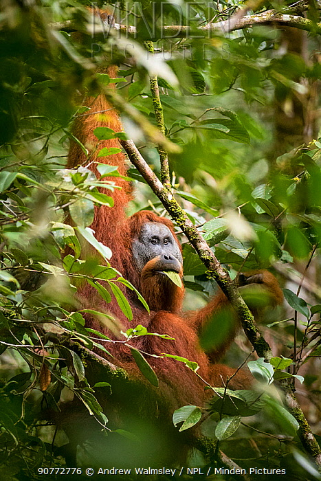 Tapanuli Orangutan (Pongo tapanuliensis) male feeding on leaf, Batang Toru, North Sumatra, Indonesia. This is a newly identified species of orangutan, limited to the Batang Toru forests in North Sumatra is with a population of about 800 individuals.