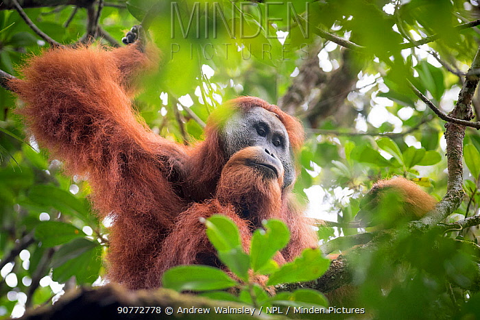 Tapanuli Orangutan (Pongo tapanuliensis) male,  Batang Toru, North Sumatra, Indonesia. This is a newly identified species of orangutan, limited to the Batang Toru forests in North Sumatra is with a population of about 800 individuals.