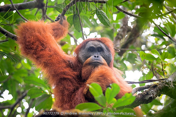 Tapanuli Orangutan (Pongo tapanuliensis) portrait of male,  Batang Toru, North Sumatra, Indonesia. This is a newly identified species of orangutan, limited to the Batang Toru forests in North Sumatra is with a population of about 800 individuals.