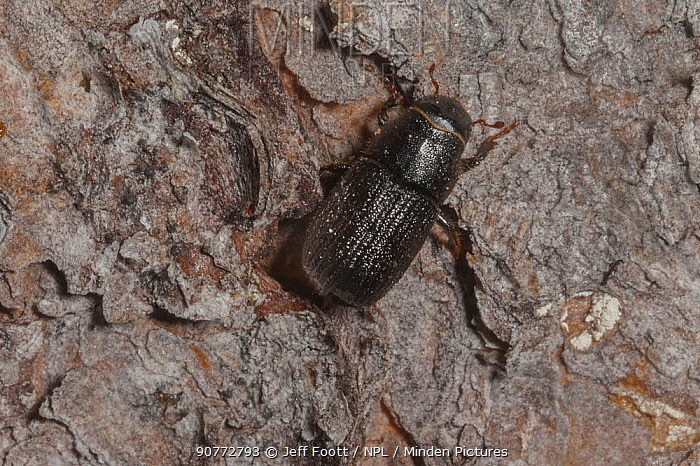 Mountain pine beetle ( Dendroctonus ponderosae)  trying to enter Lodgepole Pine tree, Grand Teton National Park, USA, August. The current outbreak of mountain pine beetles has been particularly aggressive. This is due to climate change, monoculture planting of trees and fire suppression.