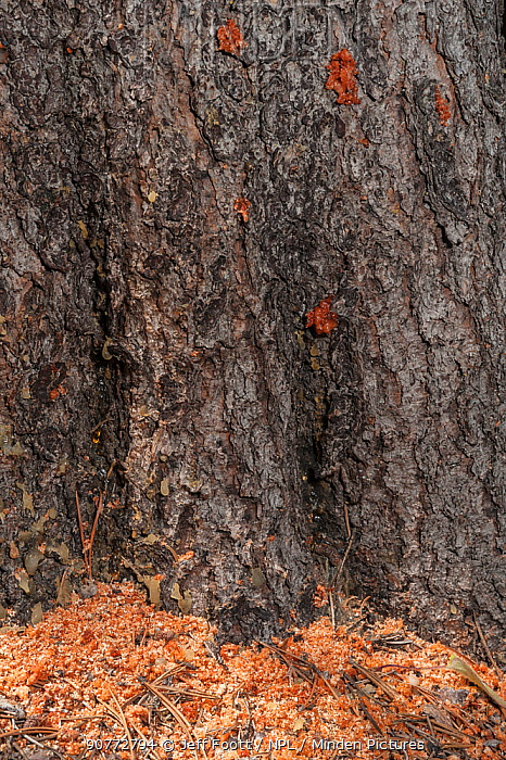 Saw dust (frass) at base of Lodgepole Pine tree trunk where Mountain pine beetles (Dendroctonus ponderosae) have drilled through the bark.Resin / pitch indicate the beetles' entry holes. Grand Teton National Park, Wyoming, USA, August. The current outbreak of mountain pine beetles has been particularly aggressive. This is due to climate change, monoculture planting of trees and fire suppression.