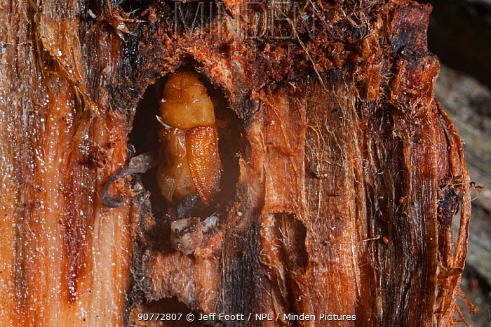 Mountain pine beetle (Dendroctonus ponderosae)  pupa in Lodgepole Pine, Wyoming, USA, August. The current outbreak of mountain pine beetles has been particularly aggressive. This is due to climate change, monoculture planting of trees and fire suppression.
