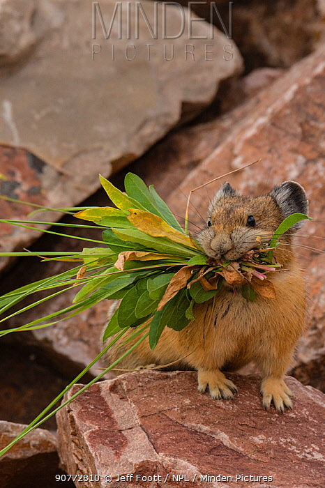 Pika (Ochotona princeps) gathering plants to store for winter, Bridger National Forest,  Wyoming, USA. August.