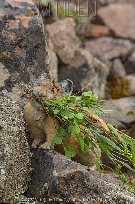 Pika (Ochotona princeps)  bringing vegetation to hay pile, in Bridger National Forest,  Wyoming, USA, August.