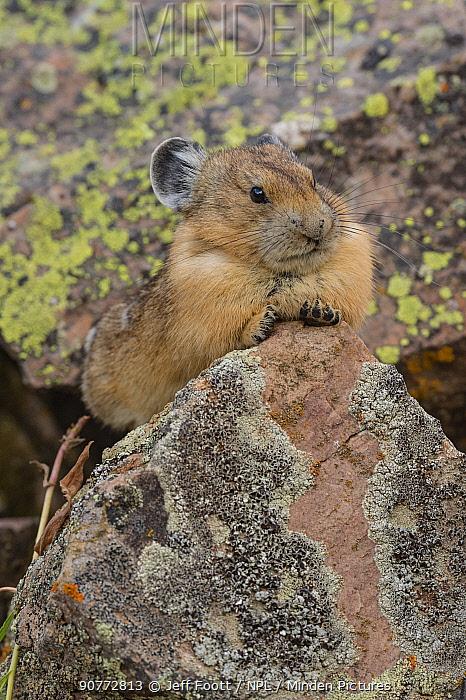 Pika (Ochotona princeps)  in Bridger National Forest,  Wyoming Mountain Range, Wyoming, USA. August.