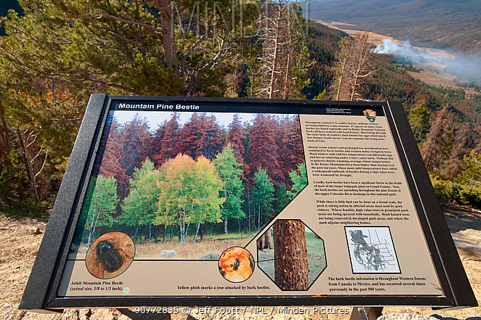 Information sign about Mountain pine beetle sign.   Rocky Mountain National Park, USA, October. The current outbreak of mountain pine beetles has been particularly aggressive. This is due to climate change, monoculture planting of trees and fire suppression.