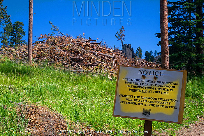 Sign forbidding collection of firewood from trees killed by Mountain pine beetle larvae (Dendroctonus ponderosae) in order to prevent spread of beetle. Custer State Park, South Dakota, USA, July. The current outbreak of mountain pine beetles has been particularly aggressive. This is due to climate change, monoculture planting of trees and fire suppression.