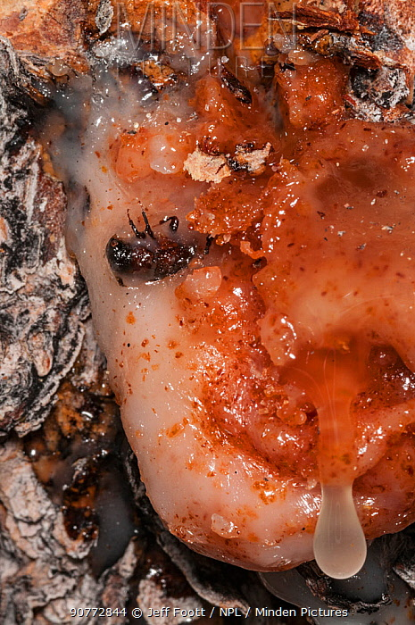 Dead Mountain pine beetle (Dendroctonus ponderosae)  'pitched out' by pitch / resin in Lodgepole pine tree, Grand Teton National Park, Wyoming, USA. August. The current outbreak of mountain pine beetles has been particularly aggressive. This is due to climate change, monoculture planting of trees and fire suppression.