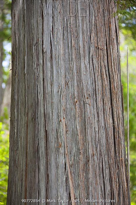 Trunk of Alerce tree (Fitzroya cupressoides). Los Alerces National Park UNESCO World Heritage Site, Argentina.
