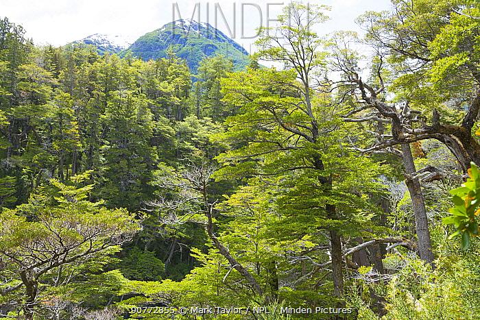 Temperate forest, Los Alerces National Park UNESCO World Heritage Site, Argentina.