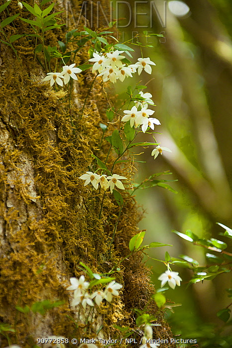 White flowers, growing on the trunk of a mossy tree. Los Alerces National Park UNESCO World Heritage Site, Argentina.