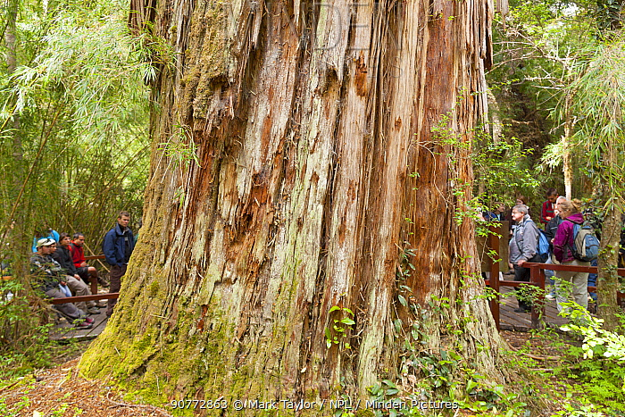 Base trunk of Alerce tree (Fitzroya cupressoides). Los Alerces National Park UNESCO World Heritage Site, Argentina.
