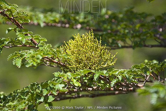 False Mistletoe (Misodendrum punctulatum) growing on Southern Beech (Nothofagus sp). Los Alerces National Park UNESCO World Heritage Site, Argentina.
