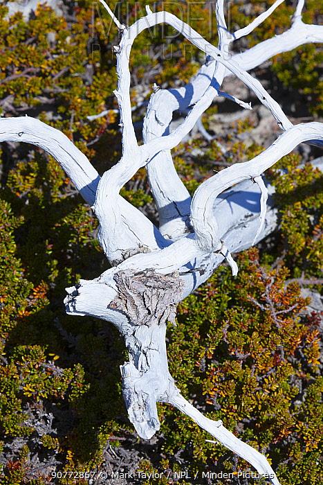 Dead tree, Los Alerces National Park UNESCO World Heritage Site, Argentina.