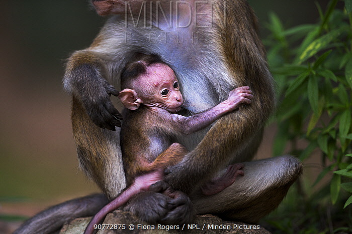 Toque macaque (Macaca sinica sinica) infant aged a few days suckling. Polonnaruwa, Sri Lanka February.