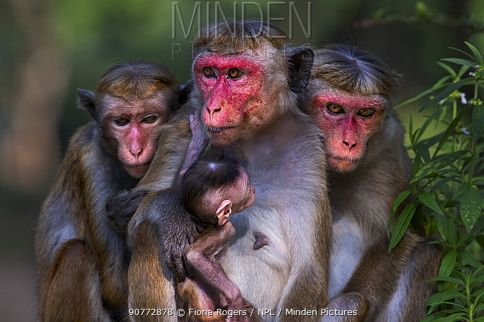 Toque macaque (Macaca sinica sinica) females sitting in a group with a baby. Polonnaruwa, Sri Lanka February.