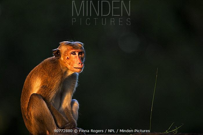 Toque macaque (Macaca sinica sinica) male portrait. Polonnaruwa, Sri Lanka February.