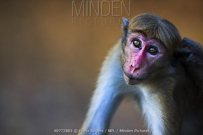 Toque macaque (Macaca sinica sinica) female portrait. Polonnaruwa, Sri Lanka February.