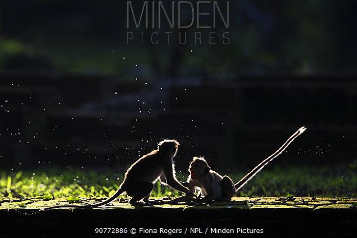 Toque macaque (Macaca sinica sinica) juveniles playing. Polonnaruwa, Sri Lanka February.
