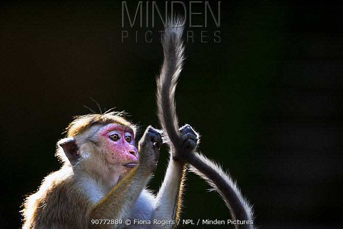 Toque macaques (Macaca sinica sinica) grooming tail, Polonnaruwa, Sri Lanka February.