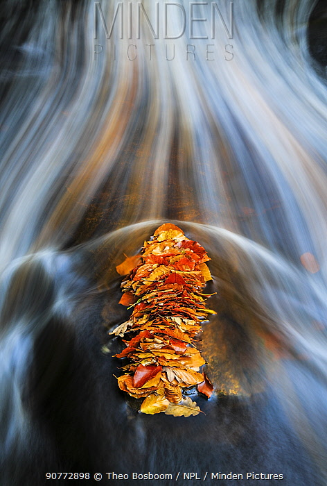 A pile of autumn Beech leaves caught behind a rock in a mountain stream La Helle, Ardennes, Belgium.