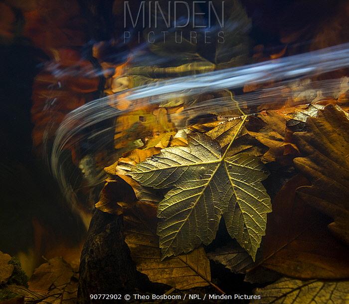 Autumn leaves seen underwater, Ardennes, La Hoegne, Belgium.