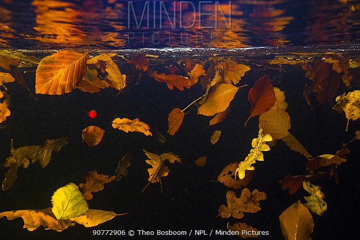 Autumn leaves from Beech trees, Oak trees and Birch trees floating under water in the current of a mountain stream, La Hoegne, Ardennes, Belgium.