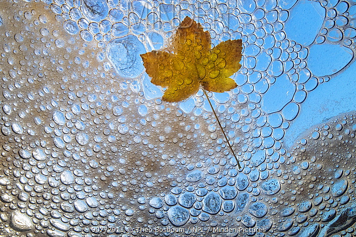 Maple leaf in autumn, viewed from underwater with bubbles and foam of mountain stream, La Hoegne, Ardennes, Belgium.