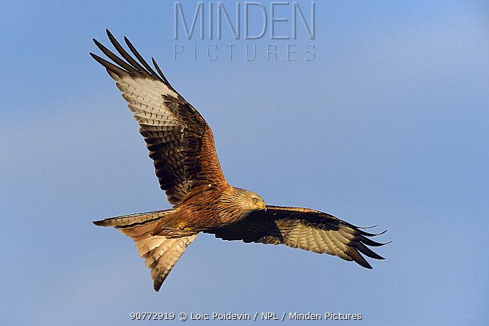 Red kite (Milvus milvus) in flight, Sierra de Guadarrama, Spain,January.
