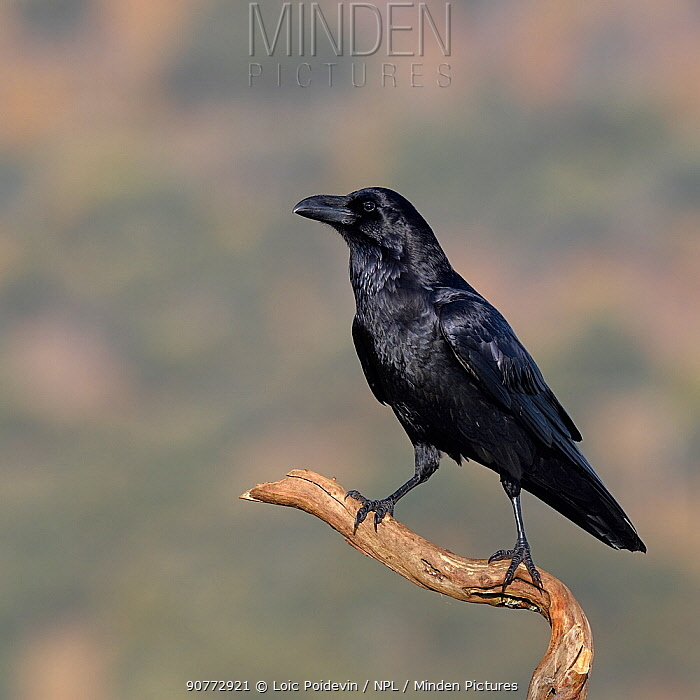 Raven (Corvus corax) Sierra de Guadarrama, Spain, January