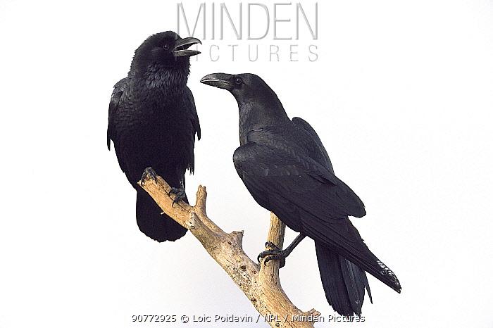Two Ravens (Corvus corax) interacting on branch, Sierra de Guadarrama, Spain, January.