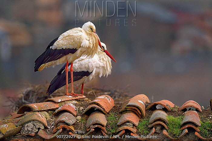 Two White storks (Ciconia ciconia) on the roof of a house, Spain, February.