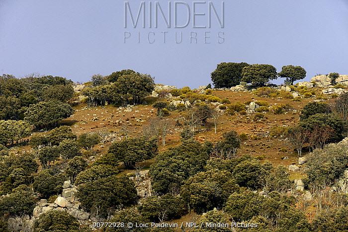 Evergreen oaks (Quercus ilex) in landscape, Real Sitio de San Ildefonso-El Espinar UNESCO Biosphere Reserve, Spain, February 2017.