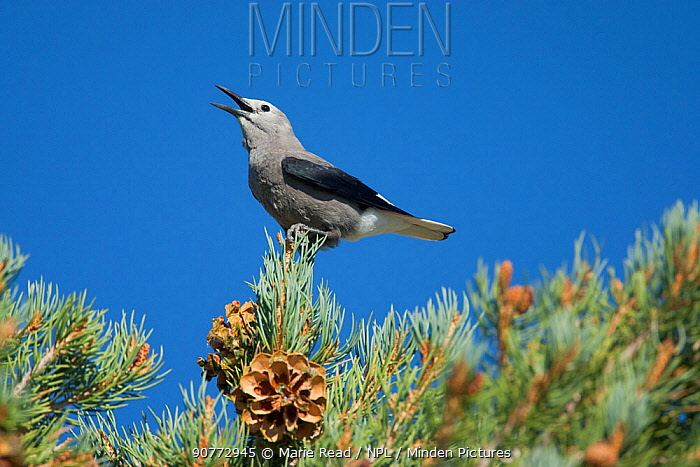 Clark's nutcracker (Nucifraga columbiana) perched on Pinyon Pine, calling, Mono Lake Basin, California, USA