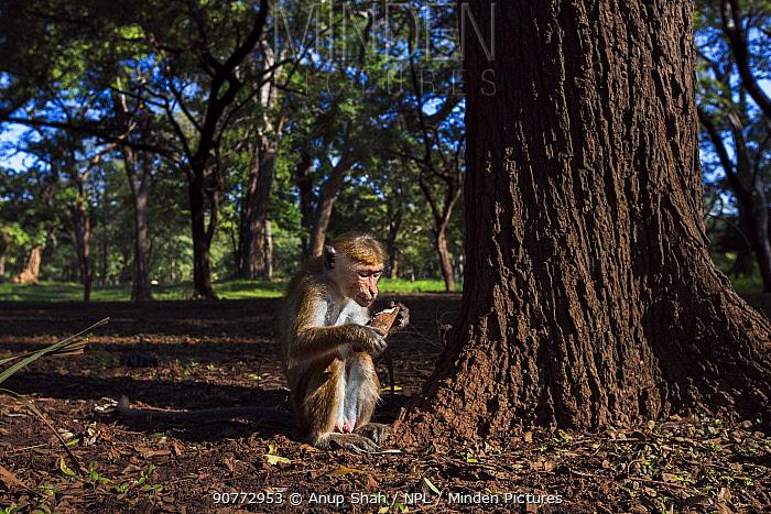 Toque macaques (Macaca sinica sinica) foraging at base of tree,  Polonnaruwa, Sri Lanka February.